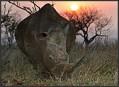 Svazijsko – na procházce s nosorožcem