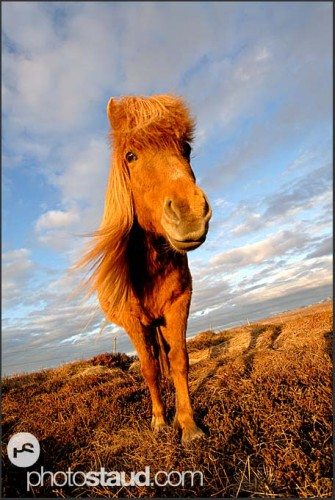 Islandský poník