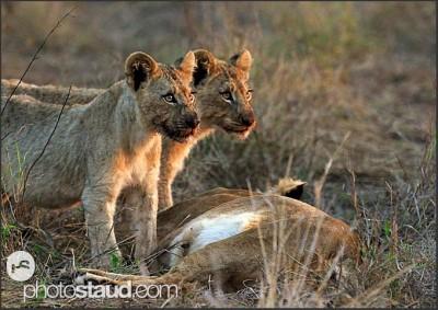 Lvíčata a lvice, Svazijsko
