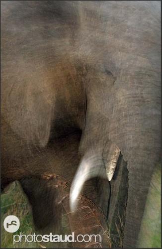 Běžící slon, Svazijsko