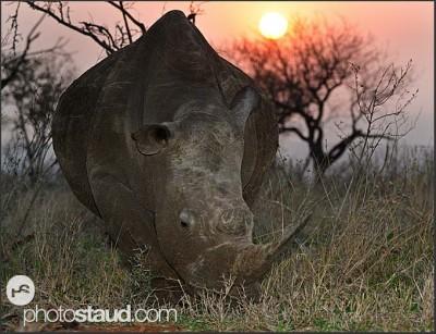 Nosorožec bílý a západ slunce, Svazijsko