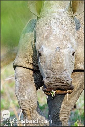 Mládě nosorožce bílého, Svazijsko