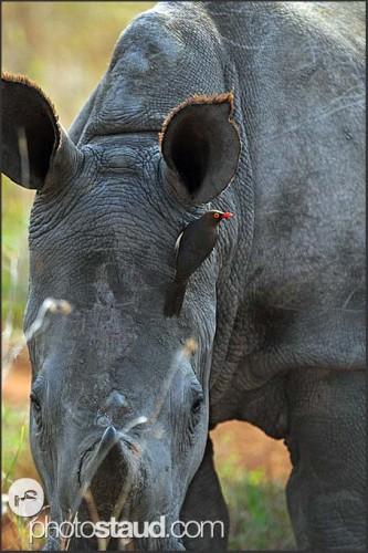 Nosorožec bílý, Svazijsko