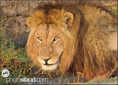 zambia-kafue-lion-007