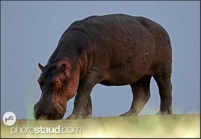 Hroch, Národní park Jižní Luangwa, Zambie