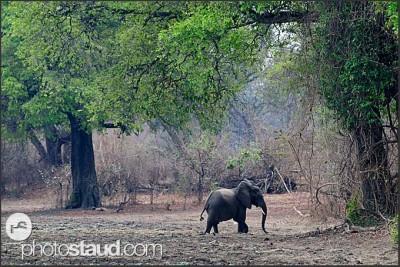 Slon africký v krajině Národního parku Jižní Luangwa, Zambie