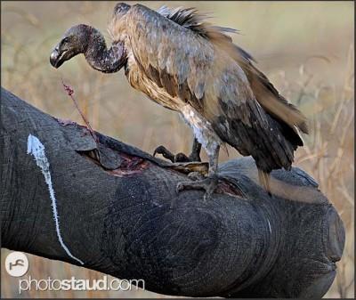 Sup u mršiny slona, Národní park Jižní Luangwa, Zambie