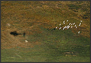 Helicopter shadow following herd of white egret (Ardea alba), Kafue National Park, Zambia