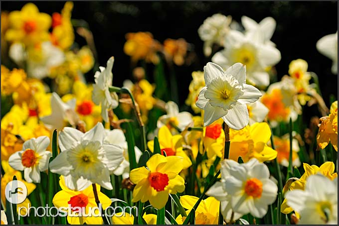 Daffodil in flower market, Amsterdam, Holland, The Netherlands, Europe