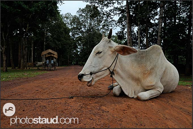 White cow on the red dusty road, Cambodia