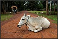 White cow lying on the dusty road, Cambodia
