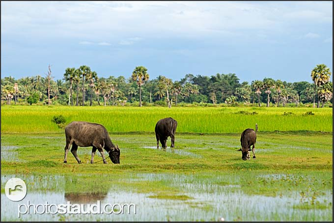 Water bulls in the field, Cambodia