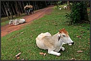 Cows lying on the road, Cambodia