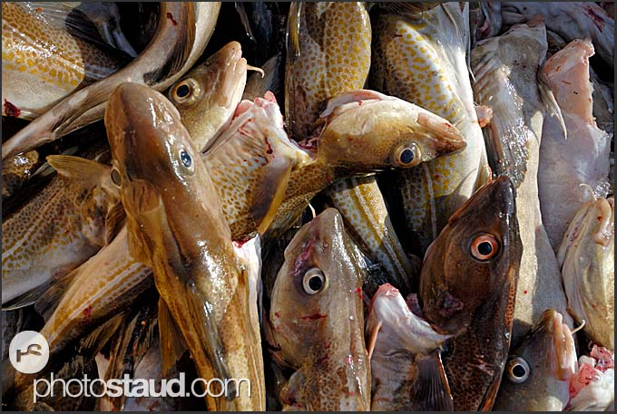 Atlantic cods (Gadus morhua), Iceland