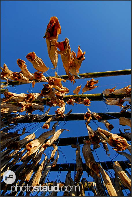 Atlantic cods (Gadus morhua) hanging on drying rack, Iceland