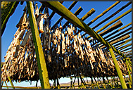 Traditional open-air fish drying to make Hardfiskur, Iceland