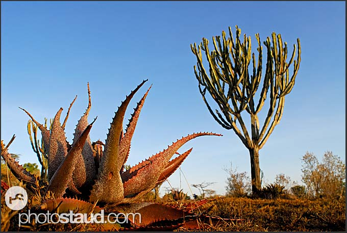 Succulents of Hell's Gate National Park, Kenya