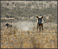 Warthogs on the dusty plains of Hell's Gate National Park, Kenya