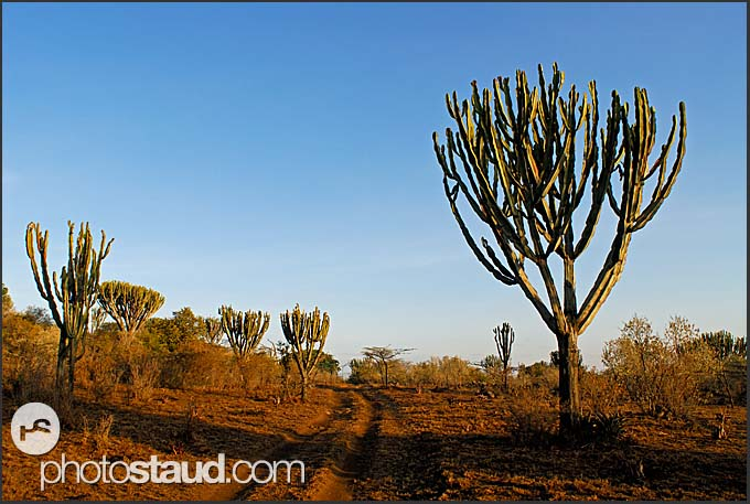 Candelabra Trees - Euphorbia ingens – in Hell's Gate National Park, Kenya
