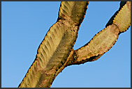 Detail of Candelabra Tree branch, Hell's Gate National Park, Kenya