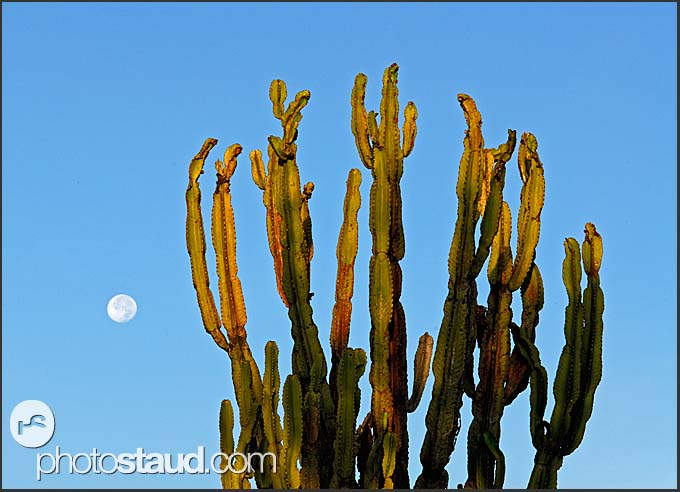 Candelabra Tree - Euphorbia ingens – and full moon, Hell's Gate National Park, Kenya