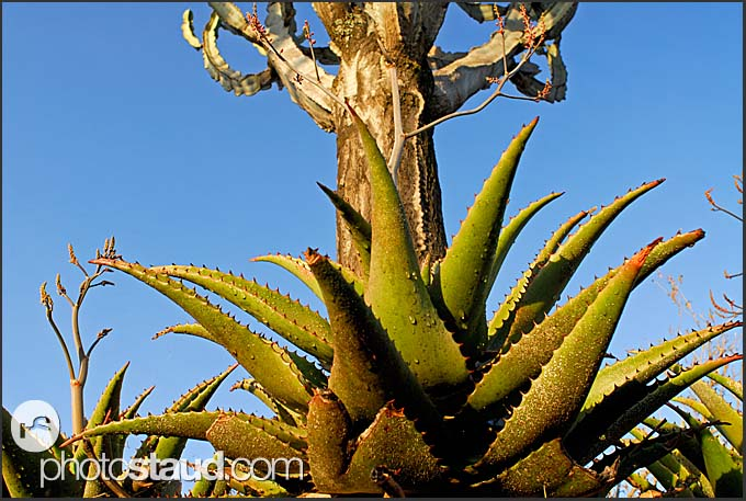 Cacti and succulents of Hell's Gate National Park, Kenya