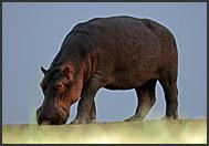 Hippopotamus grazing (Hippopotamus amphibius), South Luangwa National Park, Zambia