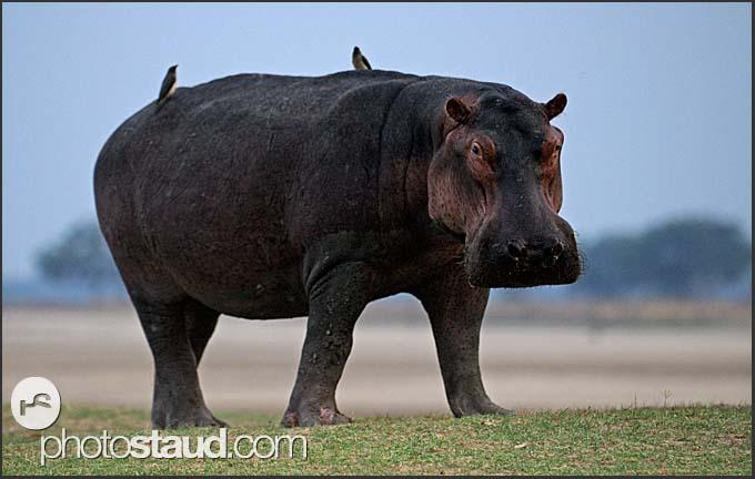 Hippopotamus (Hippopotamus amphibius), South Luangwa National Park, Zambia