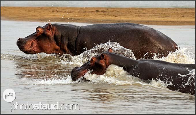 Two hippos in the Luangwa River (Hippopotamus amphibius), South Luangwa National Park, Zambia