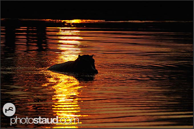 Hippo silhouette in the Luangwa River at sunset (Hippopotamus amphibius), South Luangwa National Park, Zambia