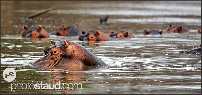 School of hippos in the Luangwa River (Hippopotamus amphibius), South Luangwa National Park, Zambia