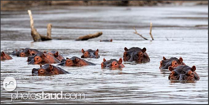 School of hippos in the Luangwa River (Hippopotamus amphibius), South Luangwa National Park, Zambia