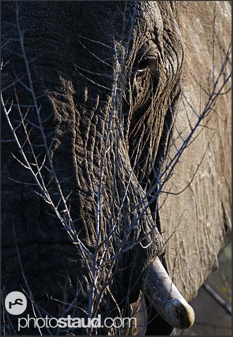African elephant (Loxodonta africana), Hlane Royal National Park, Swaziland