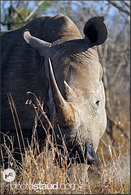 White rhinoceros (Ceratotherium simum) close up, Hlane Royal National Park, Swaziland