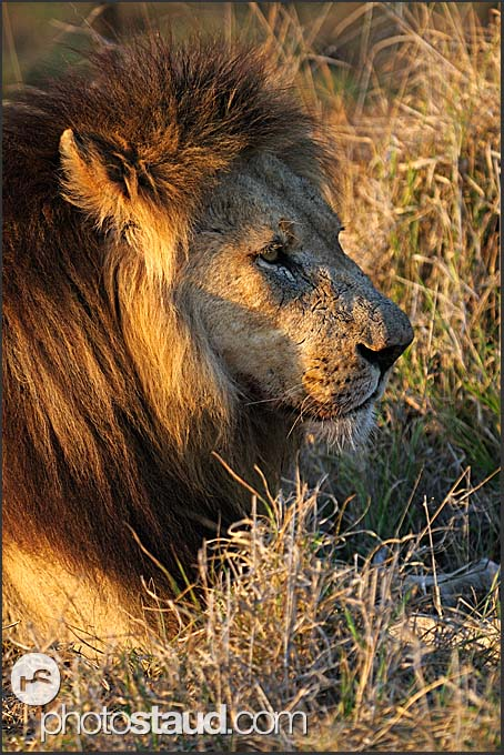 Lion male (Panthera leo) resting in grass, Hlane Royal National Park, Swaziland