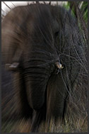 African elephant (Loxodonta africana) in full charge, Hlane Royal National Park, Swaziland