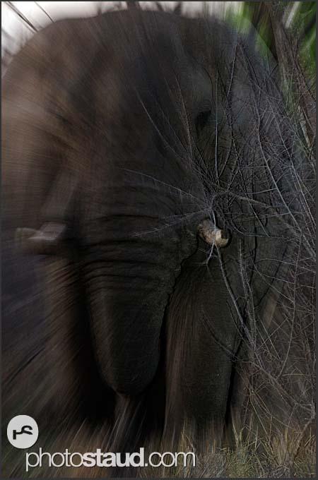 African elephant (Loxodonta africana) in full charge, Hlane Royal National Park, Swaziland