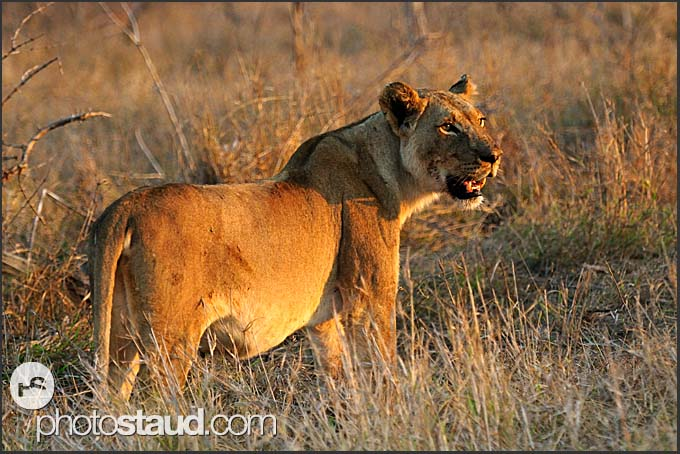 Lioness (Panthera leo) exposing her teeth, Hlane Royal National Park, Swaziland