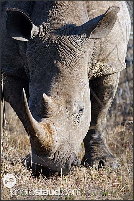 White rhinoceros grazing (Ceratotherium simum) close up, Hlane Royal National Park, Swaziland