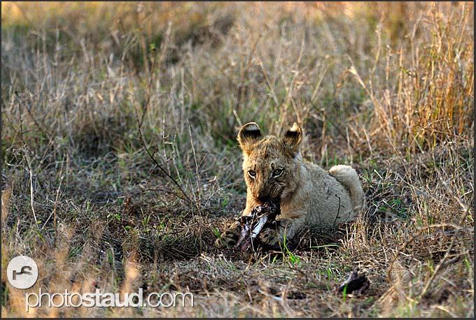 Lion cub (Panthera leo) lazing in grass and feeding on dead nyala (Tragelaphus angasi), Hlane Royal National Park, Swaziland