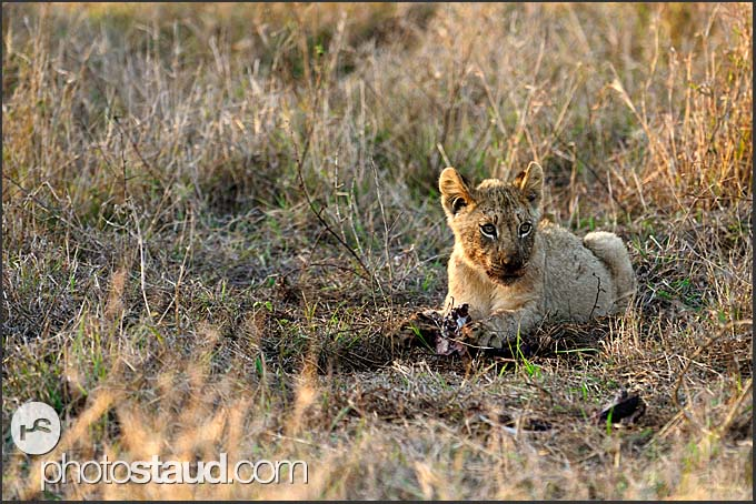 Lion cub (Panthera leo) lazing in grass and feeding on dead nyala (Tragelaphus angasi), Hlane Royal National Park, Swaziland