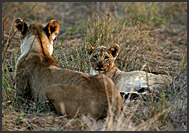 Pride of lions resting at sunset, Hlane Royal National Park, Swaziland