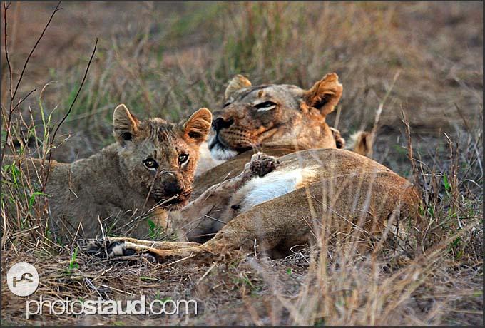 Lion cub breastfeeding (Panthera leo), Hlane Royal National Park, Swaziland