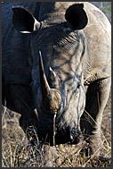 Face up portrait of white rhino (Ceratotherium simum), Hlane Royal National Park, Swaziland
