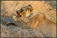 Lioness grooming (Panthera leo) in grass, Hlane Royal National Park, Swaziland