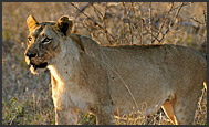 Two lion cubs standing over their mother (Panthera leo), Hlane Royal National Park, Swaziland