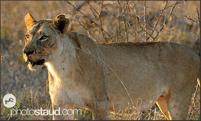 Lioness at sunset (Panthera leo), Hlane Royal National Park, Swaziland