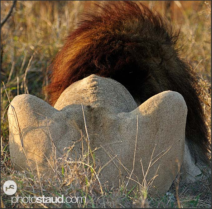 Lion male (Panthera leo) from back, Hlane Royal National Park, Swaziland