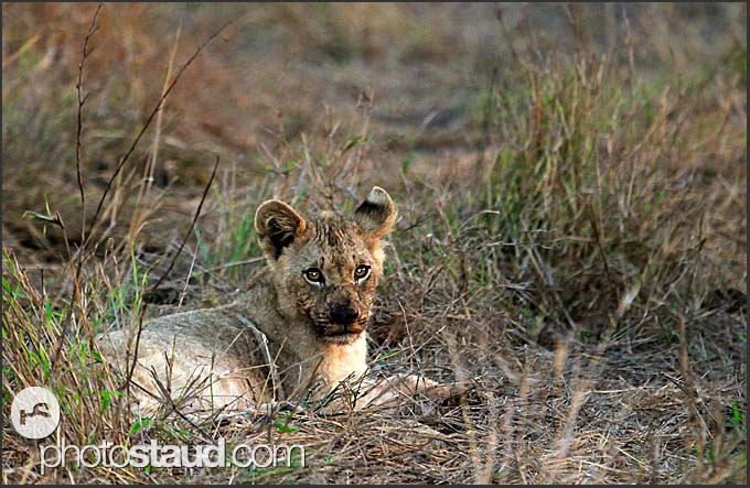 Lion cub (Panthera leo) resting in Hlane Royal National Park, Swaziland