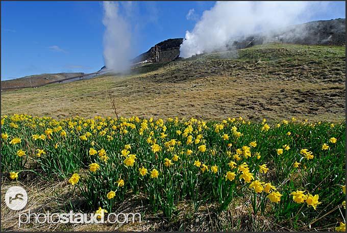 Irises and geothermal steam in Hveragerdi, Iceland